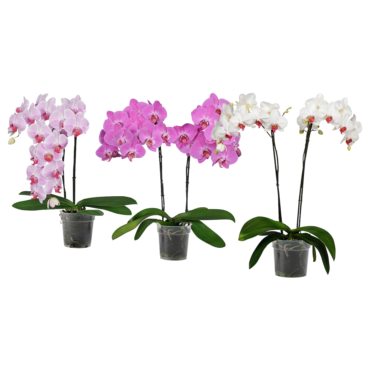 Phalaenopsis Potted Plant Orchid 2 Stems Assorted