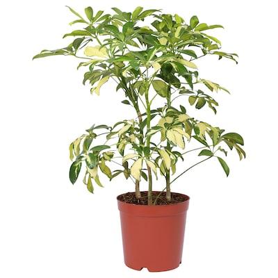 SCHEFFLERA ARBORICOLA Potted plant, Umbrella tree, 19 cm