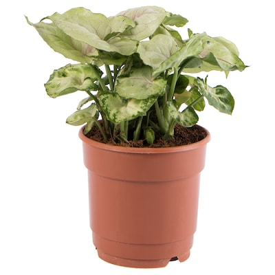 SYNGONIUM Potted plant, Goosefoot plant, 12 cm