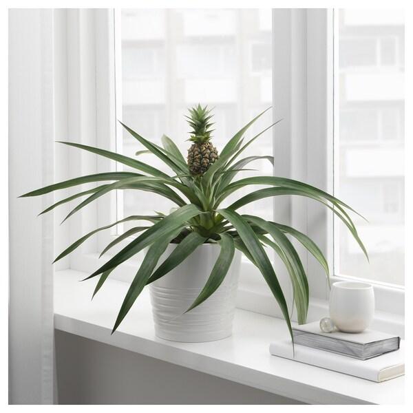 ANANAS Pianta da vaso, ananas, 15 cm
