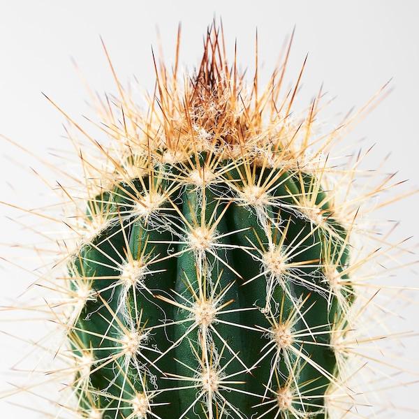 CACTACEAE Pianta con vaso, cactus/specie varie, 6 cm 3 pezzi