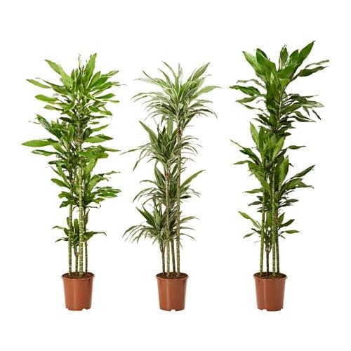 Dracaena deremensis pianta da vaso ikea - Ikea vasi da giardino ...