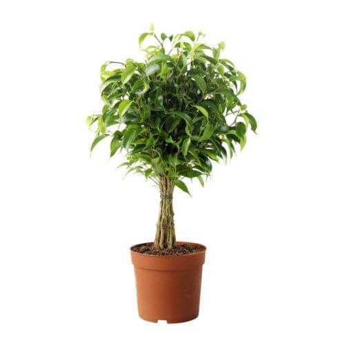 Ficus benjamina natasja di ikea regge legato ad alberello for Piante ad alberello