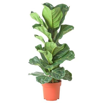 FICUS LYRATA Pianta da vaso, Ficus a foglie di lira, 21 cm