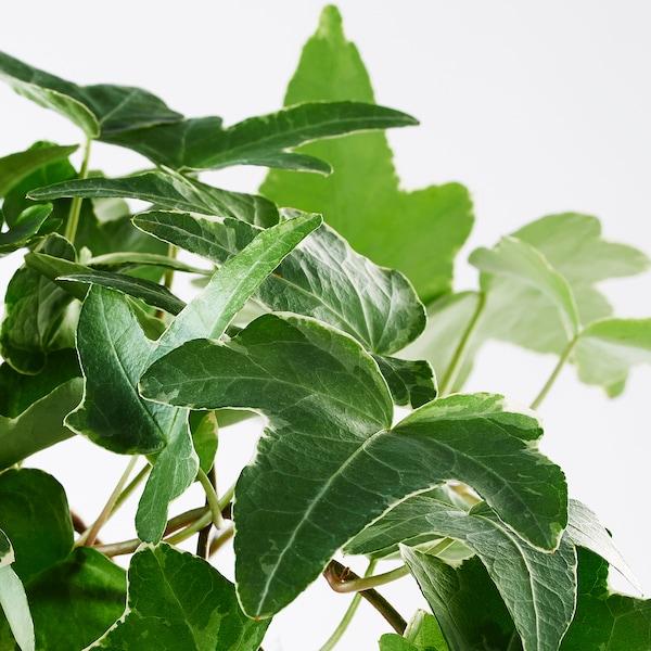 HEDERA HELIX Pianta da vaso, edera, 13 cm