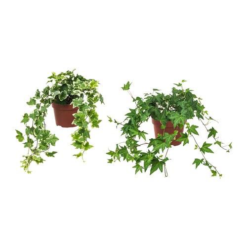 Hedera helix pianta da vaso ikea for Edera finta ikea