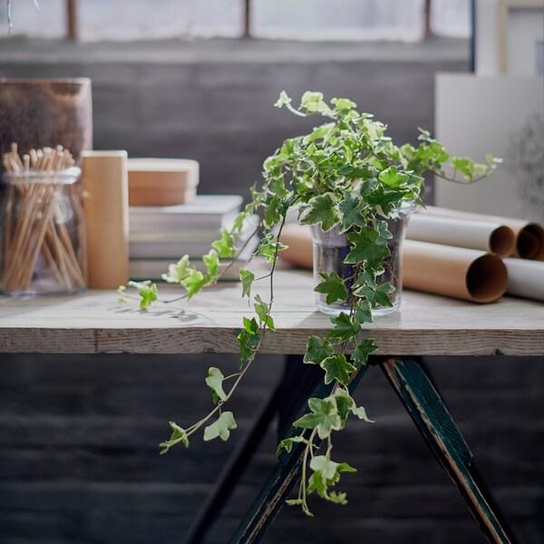 HEDERA HELIX pianta da vaso edera 13 cm 35 cm