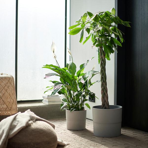 PACHIRA AQUATICA Pianta da vaso, Pachira, 27 cm