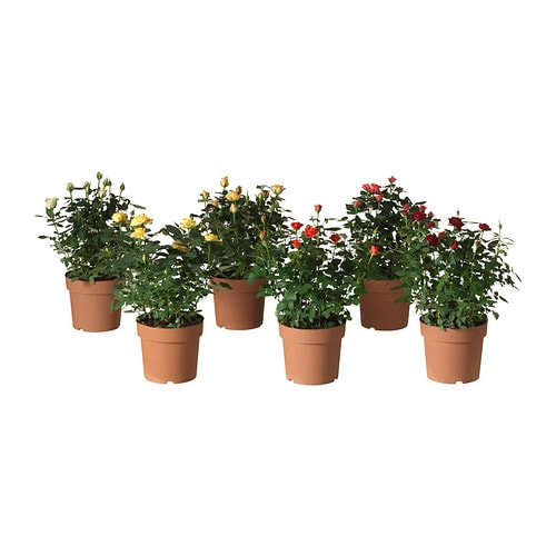 Rosa pianta da vaso ikea for Rosa pianta