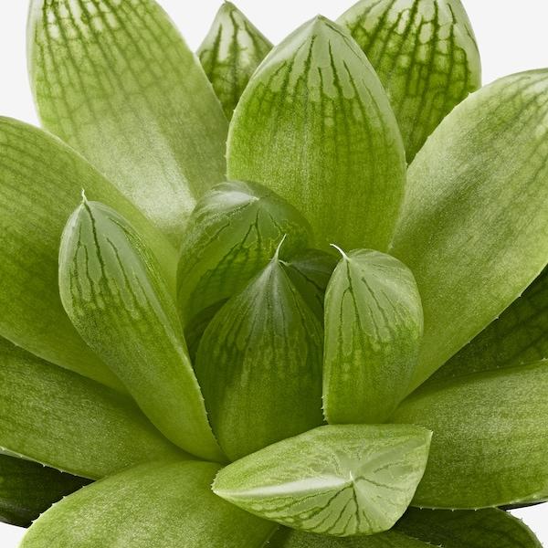 SUCCULENT Pianta con vaso, specie varie, 6 cm 3 pezzi