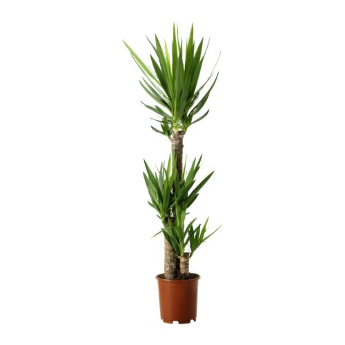 yucca elephantipes pianta da vaso ikea. Black Bedroom Furniture Sets. Home Design Ideas