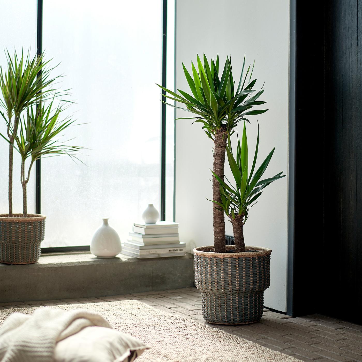 Piante Da Interno Yucca.Yucca Elephantipes Pianta Da Vaso 2 Steli Ikea