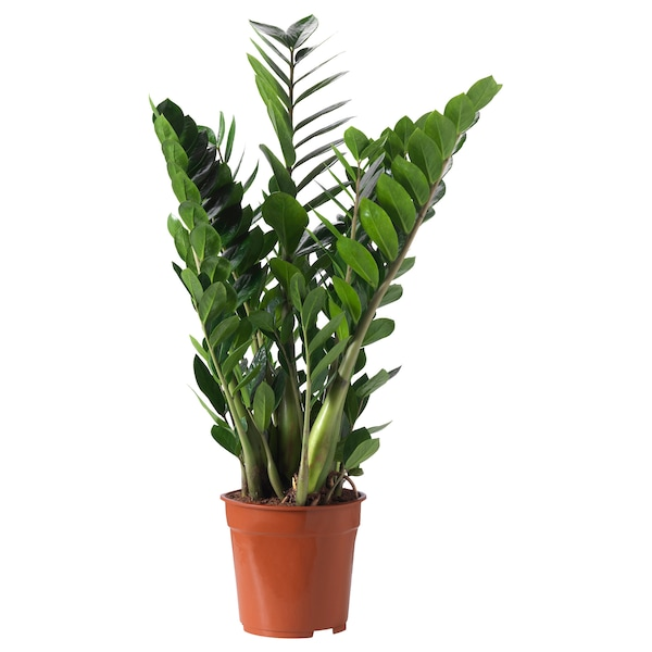 ZAMIOCULCAS Pianta da vaso, Aracea, 21 cm