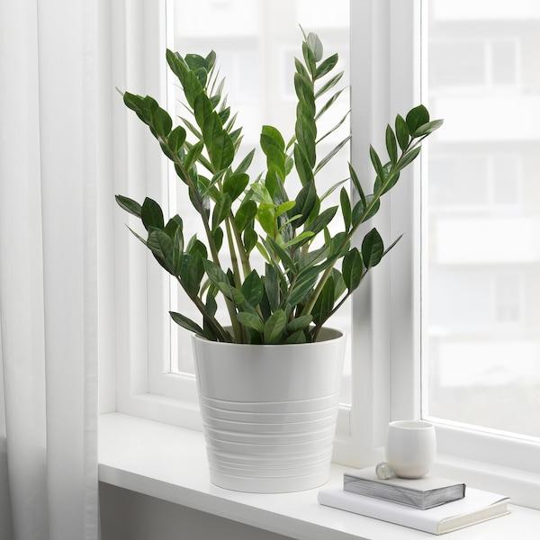 ZAMIOCULCAS Pianta da vaso, Aracea, 17 cm