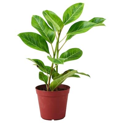 FICUS ALTISSIMA Potted plant, Council tree, 17 cm
