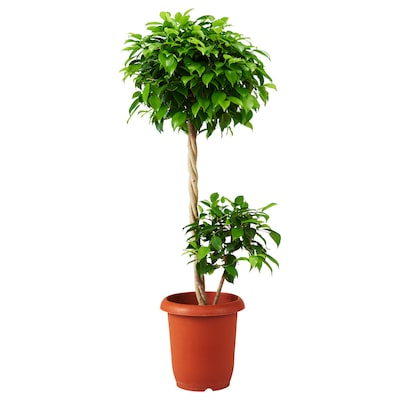 FICUS BENJAMINA Potted plant, Weeping fig, 26 cm