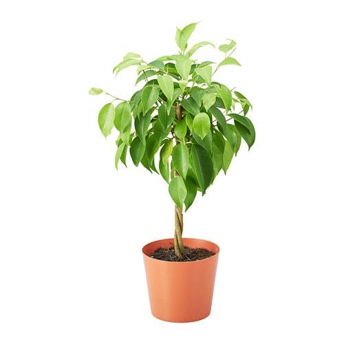 Ficus Benjamina Potted Plant Ikea