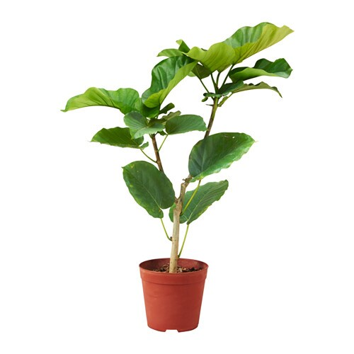 ficus umbellata potted plant ikea. Black Bedroom Furniture Sets. Home Design Ideas