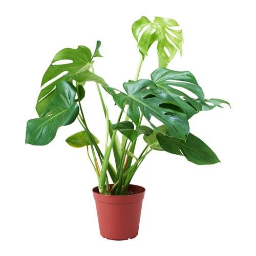 monstera adasonii potted plant ikea