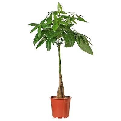 PACHIRA AQUATICA Potted plant, Guinea chestnut, 15 cm