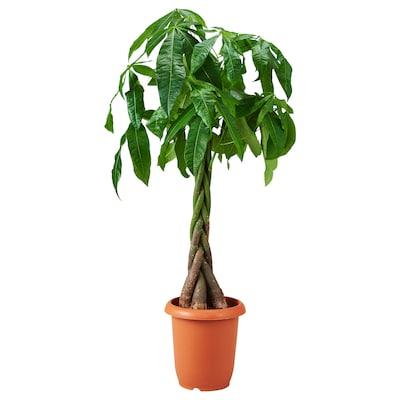 PACHIRA AQUATICA Potted plant, Guinea chestnut, 26 cm