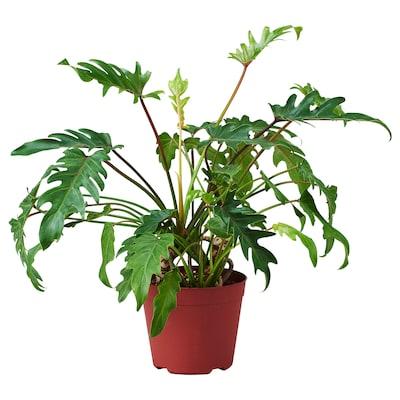 PHILODENDRON XANADU Potted plant, 18 cm