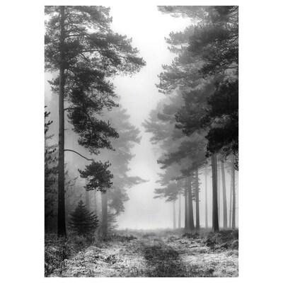 PJÄTTERYD Picture, misty forest, 50x70 cm