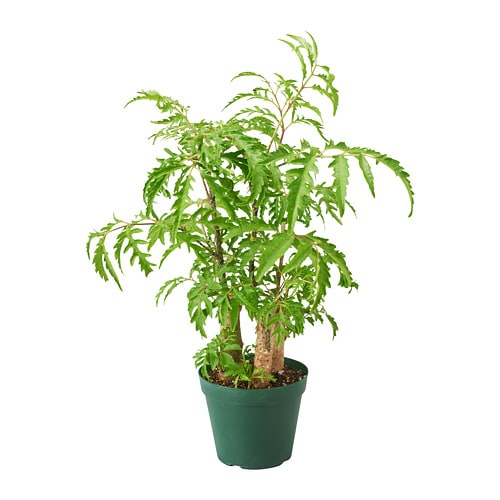 Polyscias Fruticosa Potted Plant Ikea