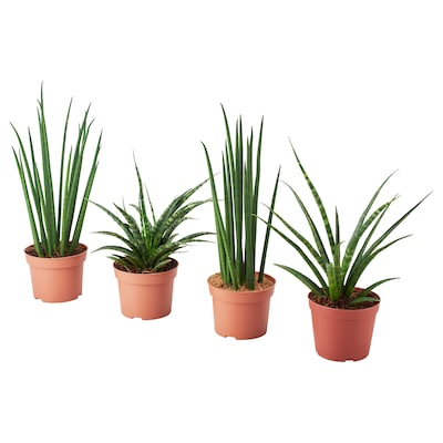 SANSEVIERIA Potted plant, assorted, 12 cm