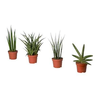 SANSEVIERIA Potted plant, assorted, 9 cm
