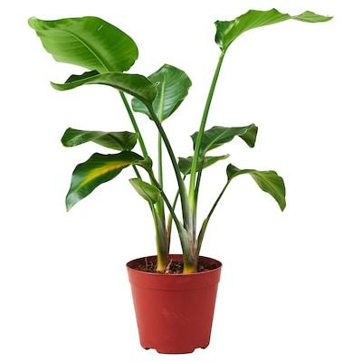 STRELITZIA Potted plant, Bird of paradise, 21 cm