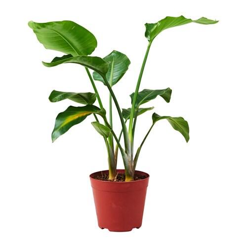STRELITZIA - Potted plant, Bird of paradise