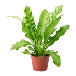ASPLENIUM 鉢植え, Bird's Nest Fern