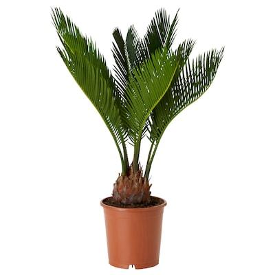 CYCAS REVOLUTA 鉢植え, ソテツ, 15 cm