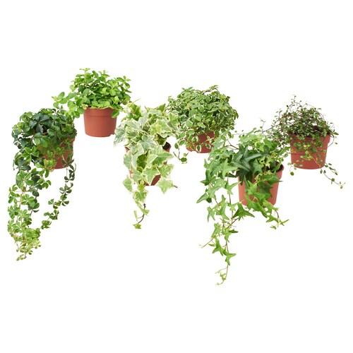 IKEA HIMALAYAMIX 鉢植え