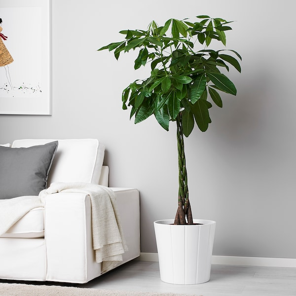 PACHIRA AQUATICA 鉢植え, パキラ, 26 cm