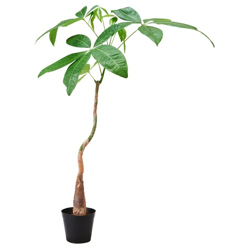 IKEA PACHIRA AQUATICA 鉢植え