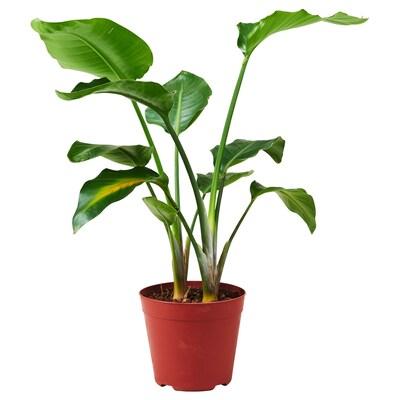STRELITZIA ストレリッツィア 鉢植え, ゴクラクチョウカ, 21 cm