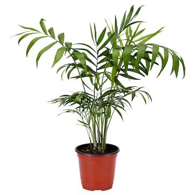 CHAMAEDOREA ELEGANS Potted plant, Parlour palm, 10 cm