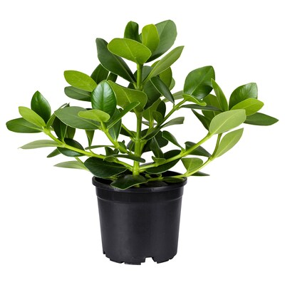 CLUSIA Potted plant, 15 cm