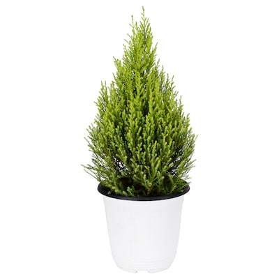 CUPRESSUS MACROCARPA Potted plant, cypress, 15 cm