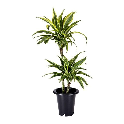 Dracaena Deremensis Potted Plant Ikea