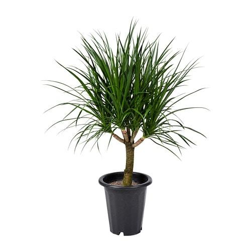 Dracaena Draco Potted Plant Ikea