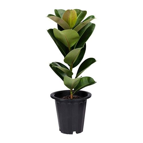 Ficus Elastica Potted Plant Ikea