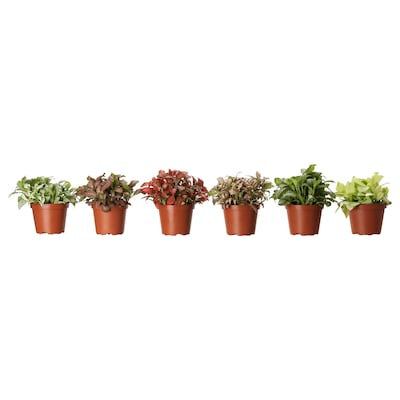 FITTONIA Potted plant, mosaic plant/assorted, 10 cm