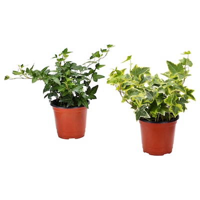 HEDERA HELIX Potted plant, Ivy/assorted, 10 cm