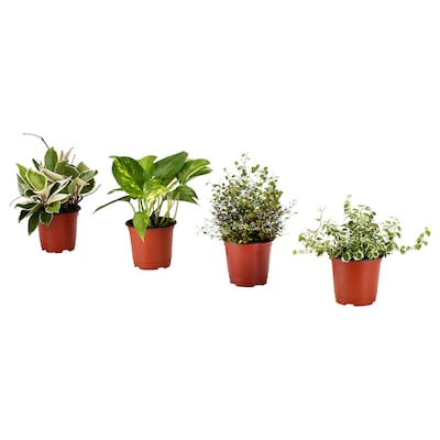 HIMALAYAMIX Potted plant, assorted, 10 cm