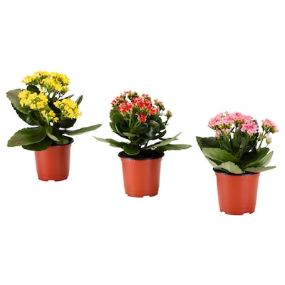 KALANCHOE Potted plant, Flaming Katy assorted, 10 cm
