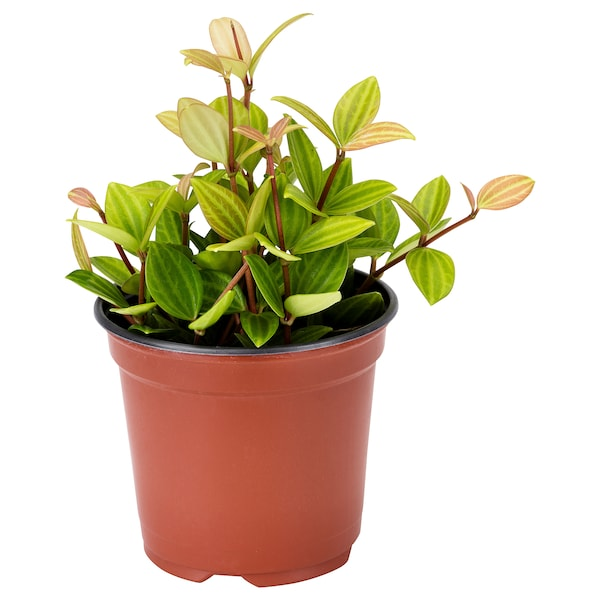PEPEROMIA Potted plant, assorted, 9 cm