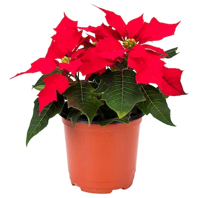 POINSETTIA Potted plant, Poinsettia red, 10 cm
